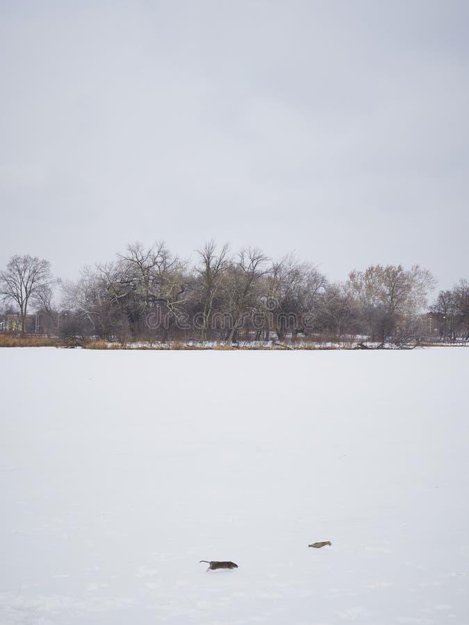 Rat running across snowy field in winter royalty free stock photos