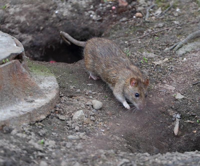 Rat runs across the ground from one hole to another royalty free stock photos