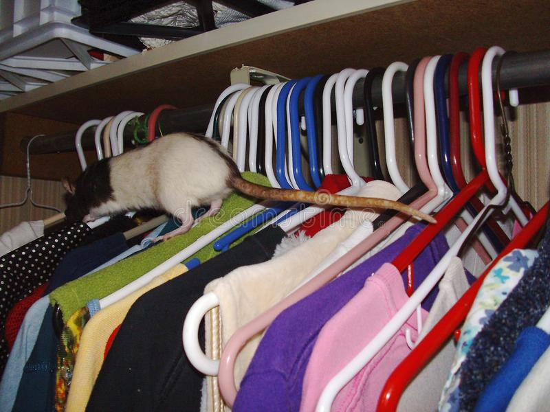 Rat s'élevant au-dessus des vêtements photo stock