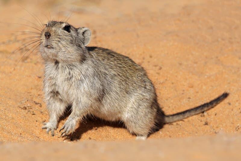 Rat siffleur photo libre de droits