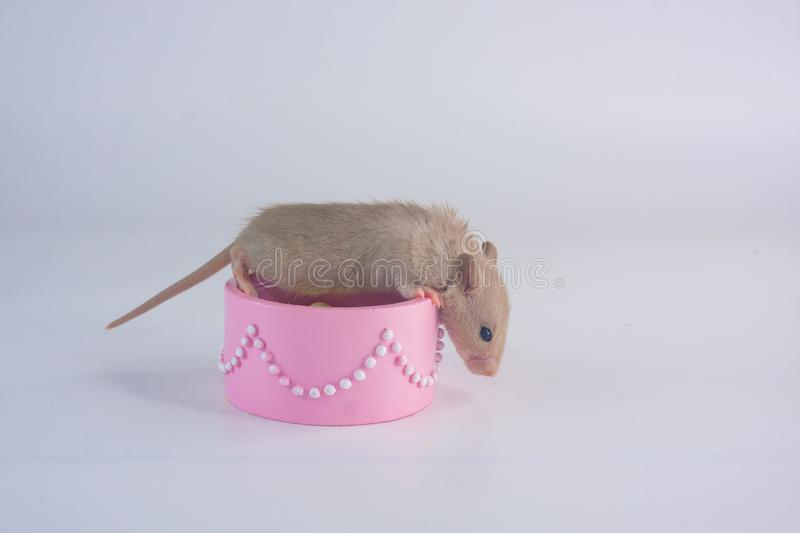 The rat sits in a pink box. Mouse in the box. royalty free stock images