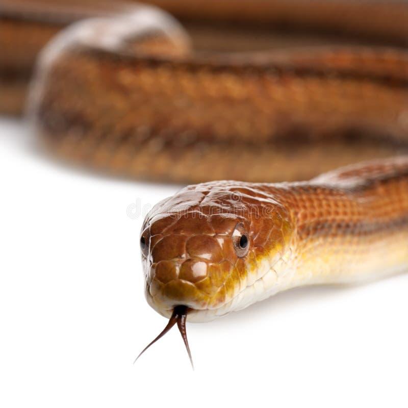 Free Rat Snake - Elaphe Obsoleta (4 Years Old) Stock Images - 9086514