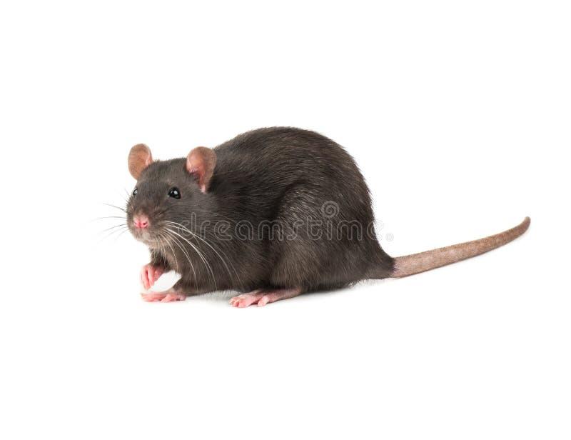 Grey rat isolate royalty free stock image