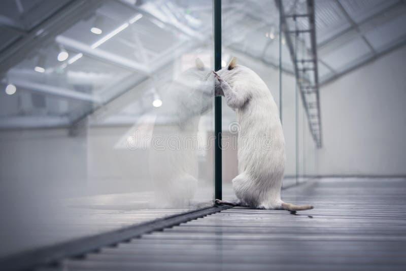 Rat som ser drömma ut av frihet arkivfoton