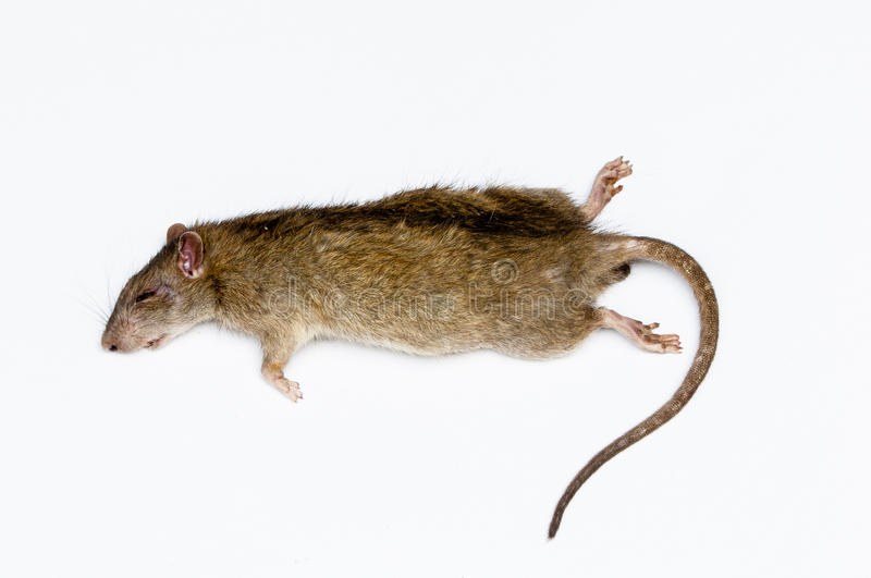 Rat. Some animals do bite and gnaw conductors pharyngitis disease that must be remembered royalty free stock image
