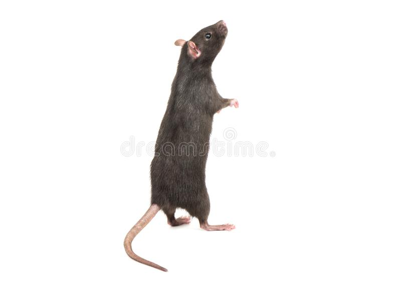 Rat stands on hind legs stock image