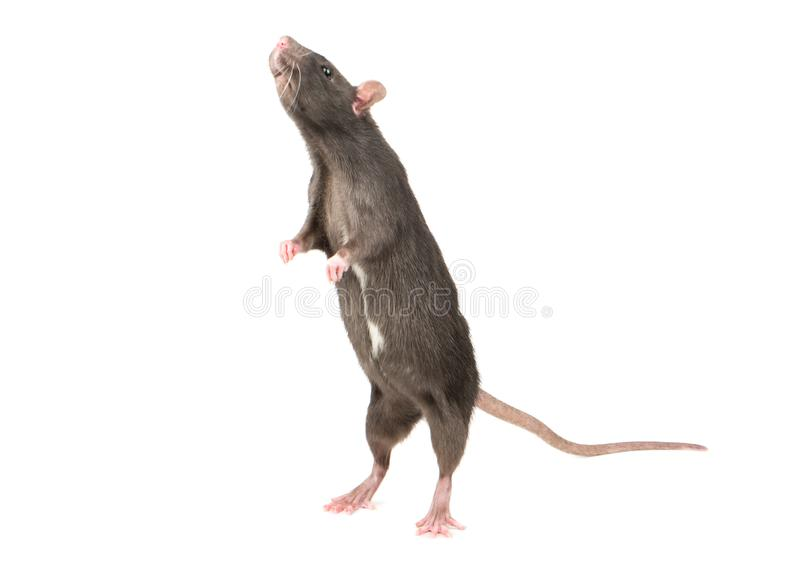 Rat stands on hind legs royalty free stock photography