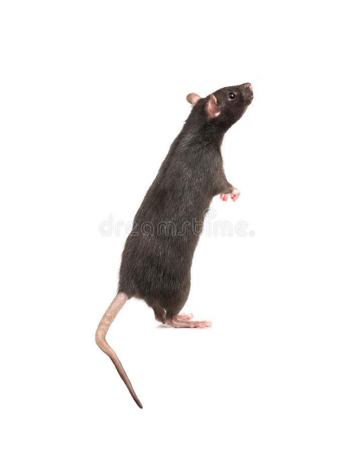 Rat stands on hind legs royalty free stock image