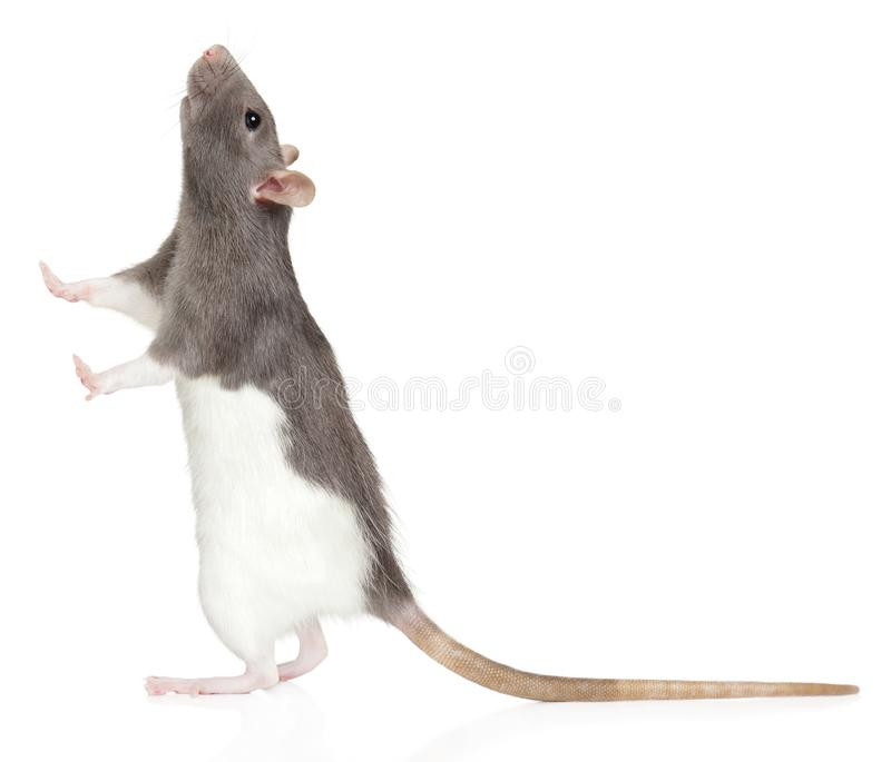 Rat stands on its hind legs and looks up stock image