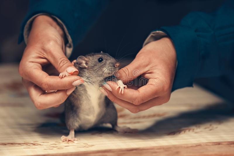 2020 year of the rat royalty free stock photo