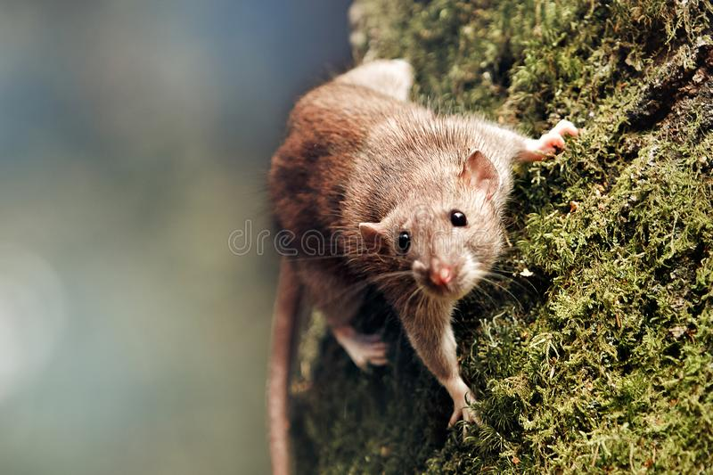 2020 year of the rat stock photography