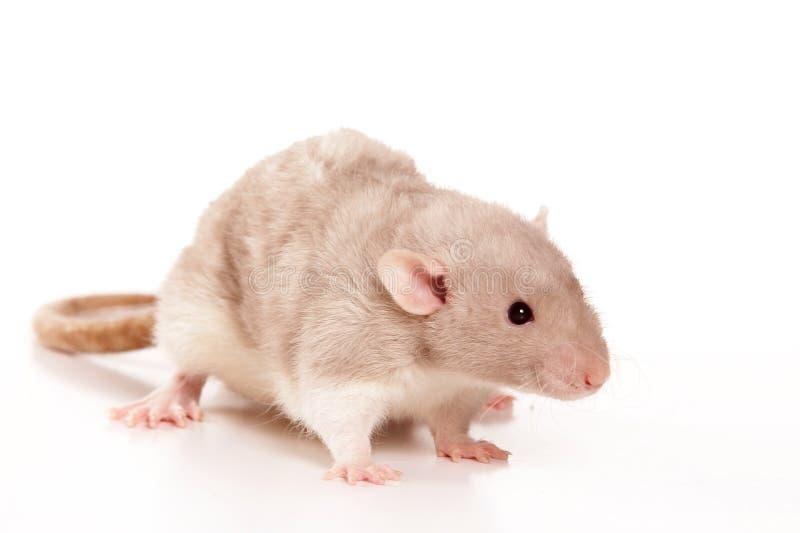 Rat on studio stock images