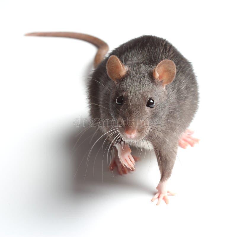 Rat sur le blanc photos stock