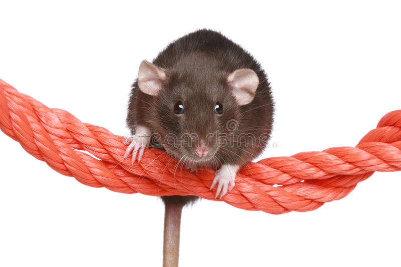 Rat sur une corde photo stock