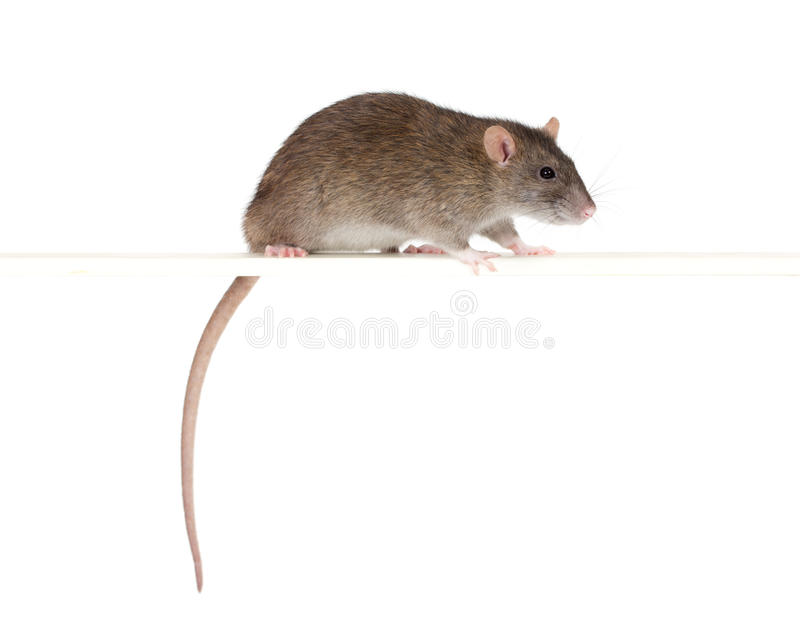 Rat sur une perche photo stock
