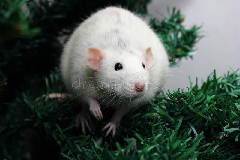 The rat is a symbol of the new year 2020 stock photo