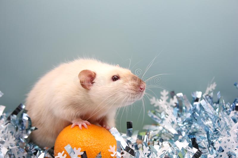 The rat is a symbol Of the new year 2020. Happy New Year royalty free stock images