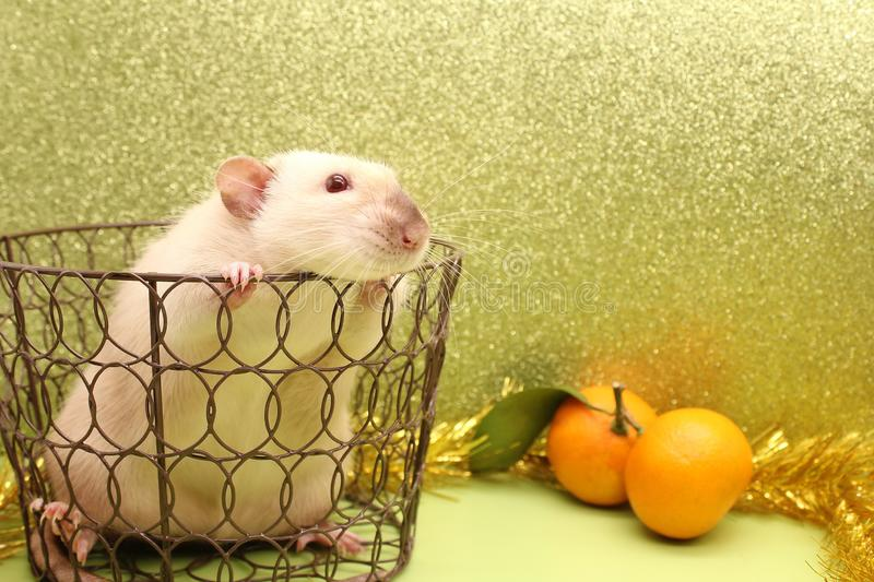 Rat-symbol of the new year 2020 in a metal openwork basket stock photo