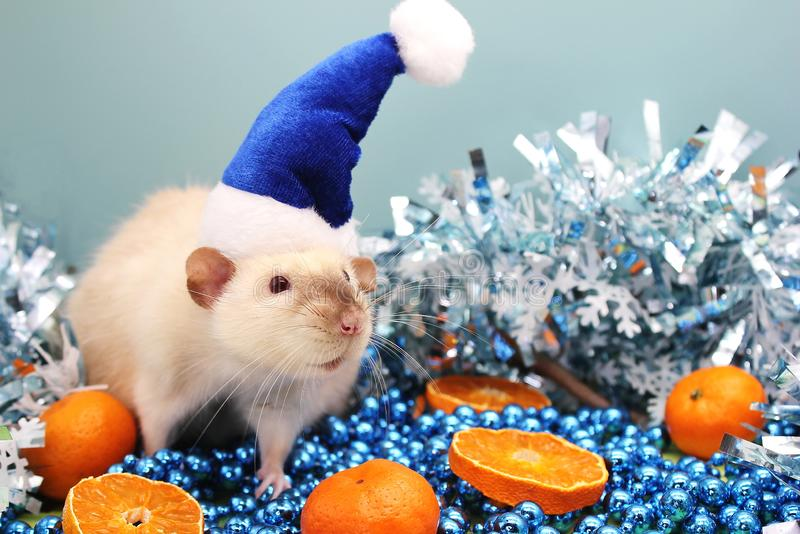 The rat is a symbol Of the new year 2020. Rat in a blue Christmas hat and the tangerine royalty free stock images
