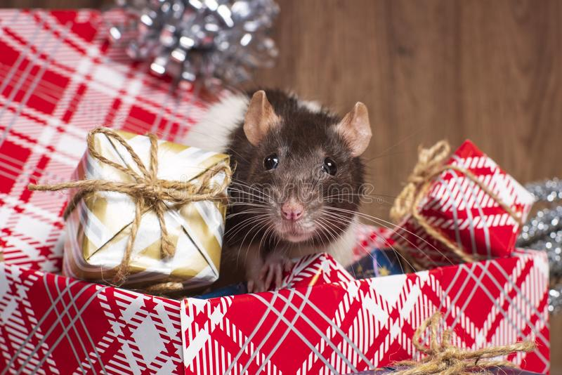 The rat is a symbol of the new year 2020 is sitting on a box . New year mood.Christmas card. Happy New Year.Gray rat looks at gift stock images