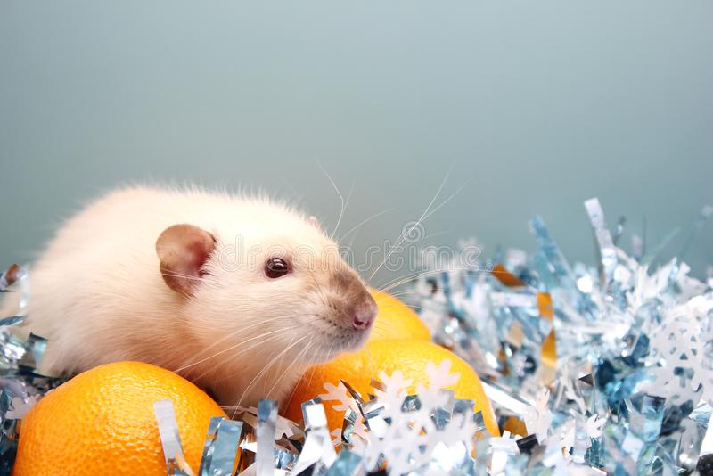 Rat and the tangerine. The rat is a symbol Of the new year 2020 royalty free stock images