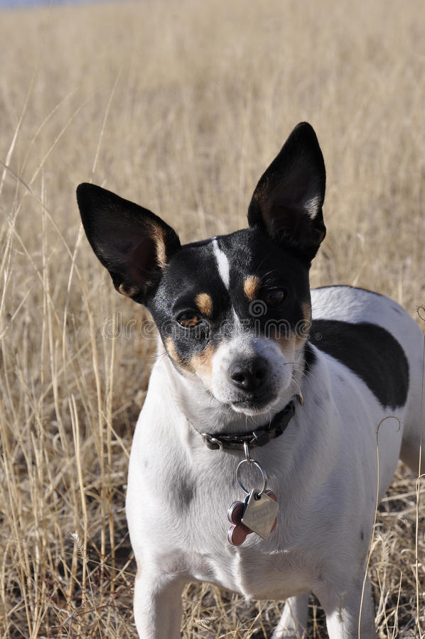Rat terrier royalty free stock photos