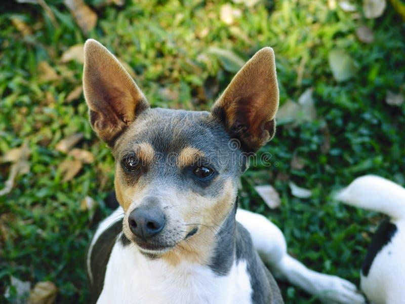 Rat terrier stock images
