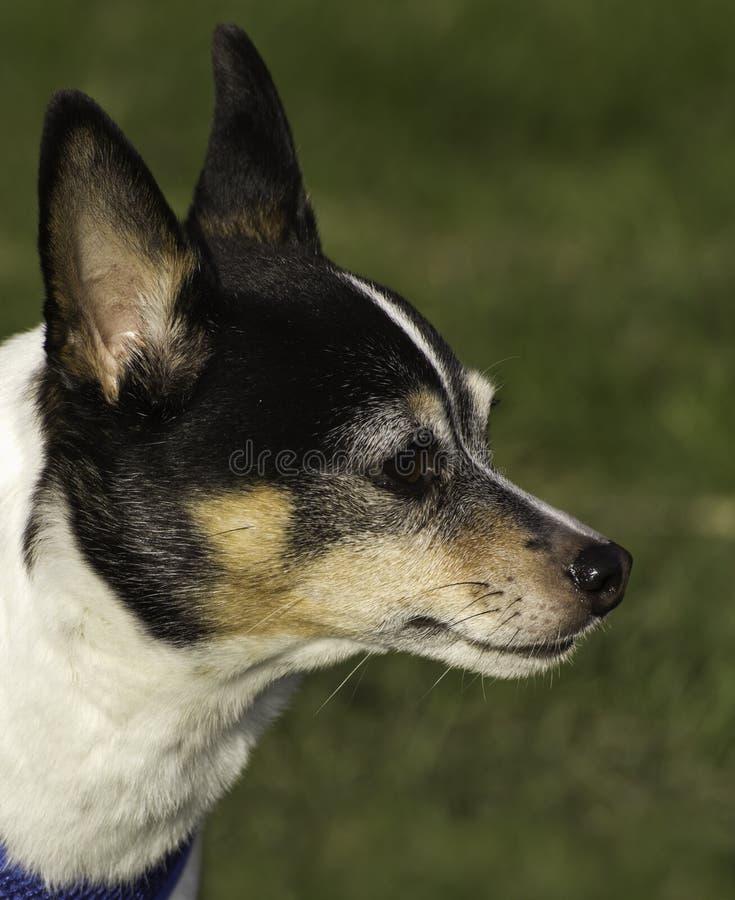 Rat Terrier royalty-vrije stock foto