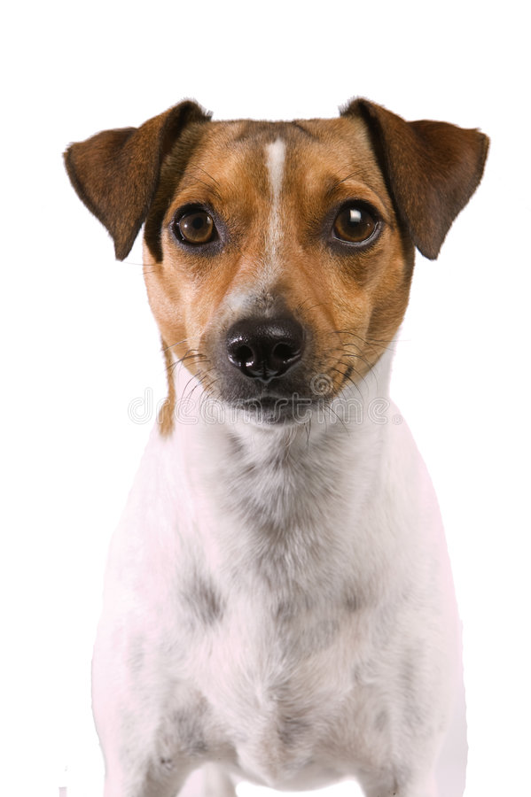 Rat Terrier stock photos