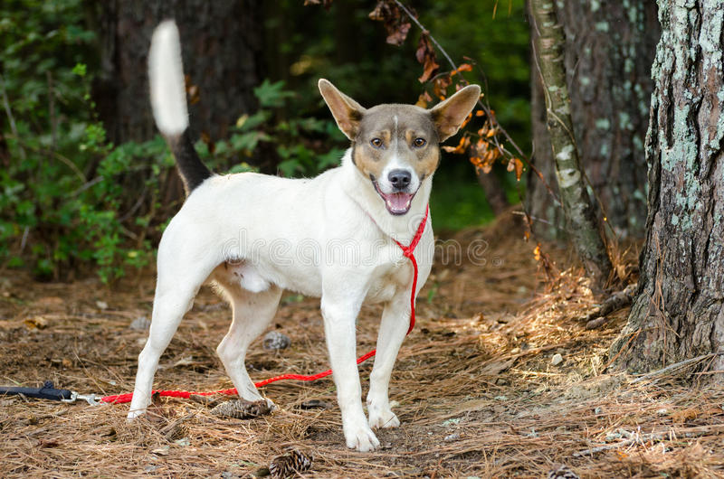 Rat Terrier Cattledog mixed breed dog. Outdoor pet photography, humane society adoption photo, Walton County Animal Shelter, Georgia royalty free stock image