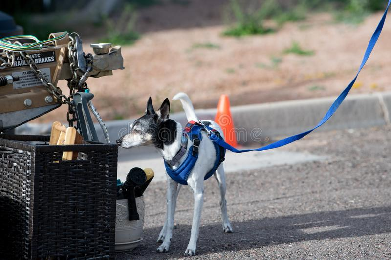 Rat Terrier checking items for odor during a game stock photography
