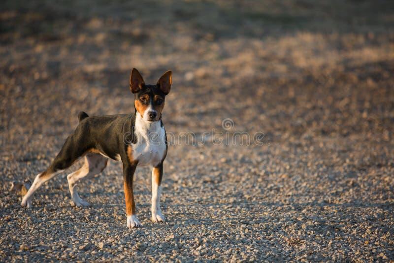 Rat Terrier dog on gravel road stock photo