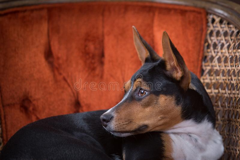 Rat Terrier Profile Portrait royalty free stock images