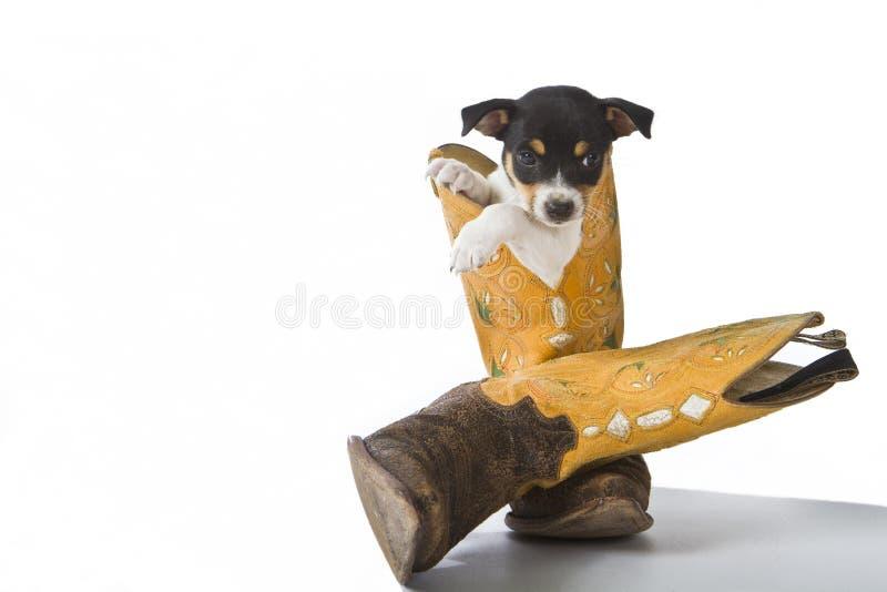 Download Rat Terrier Puppy stock image. Image of boot, studio - 26404181