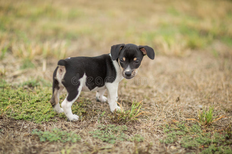 Rat Terrier puppy royalty free stock image