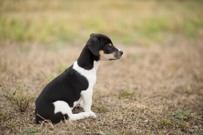 Rat Terrier Puppy. Horizontal profile image of a Rat Terrier puppy in a yard royalty free stock image