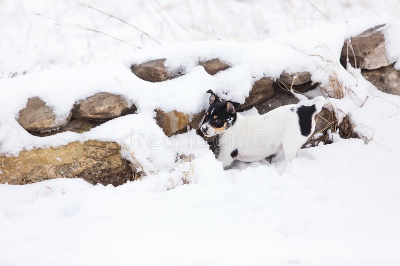 Puppy hunting in snow royalty free stock images