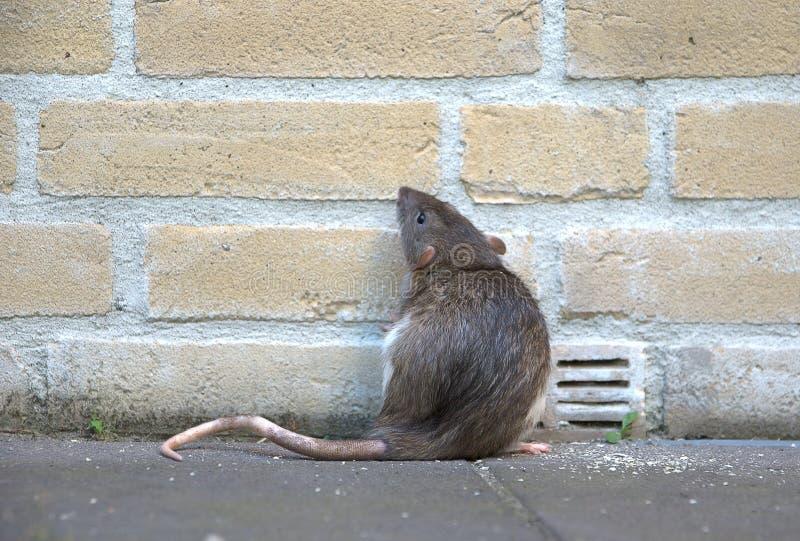 Rat urbain photographie stock libre de droits