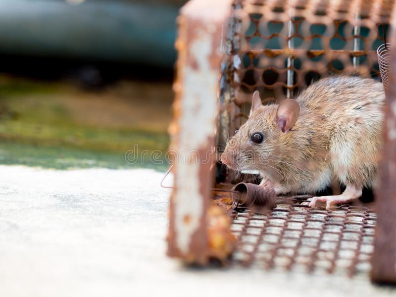 The rat was in a cage catching a rat the rat has contagion the disease to humans such as Leptospirosis, Plague. Homes and dwelling. S should not have mice. Pet royalty free stock images
