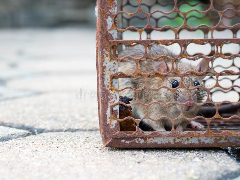 The rat was in a cage catching. Rat has contagion the disease to humans such as Leptospirosis, Plague. Homes and dwellings should. Not have mice. Pet control stock photography