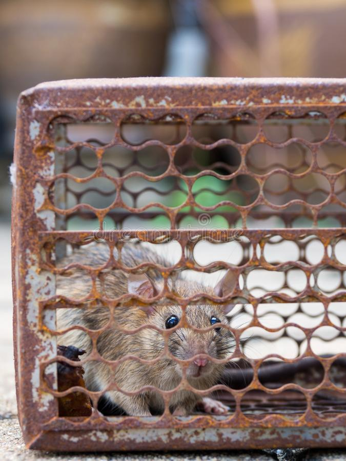 The rat was in a cage catching. Rat has contagion the disease to humans such as Leptospirosis, Plague. Homes and dwellings should. Not have mice. Pet control royalty free stock photography