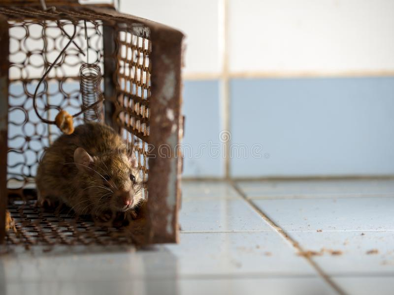 The rat was in a cage catching. The rat has contagion the disease to humans such as Leptospirosis, Plague. Homes and dwellings sho. Uld not have mice. Pet royalty free stock photo
