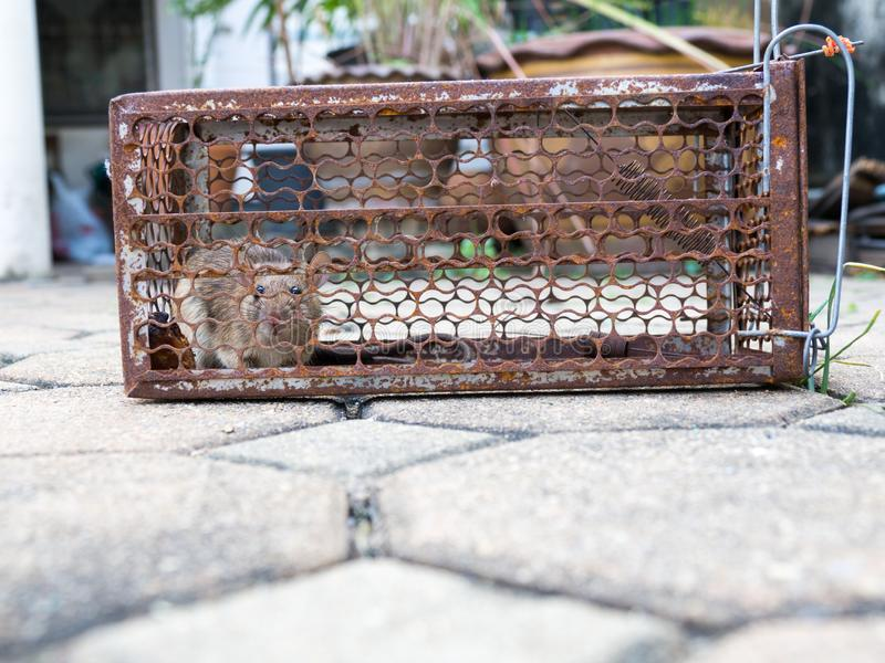 The rat was in a cage catching. Rat has contagion the disease to humans such as Leptospirosis, Plague. Homes and dwellings should. Not have mice. Pet control stock photo