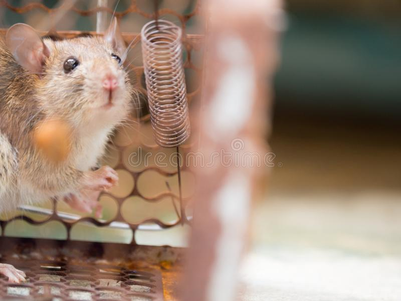 The rat was in a cage catching. The rat has contagion the disease to humans such as Leptospirosis, Plague. Homes and dwellings sho. Uld not have mice. Pet royalty free stock images