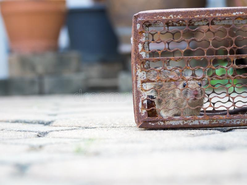 The rat was in a cage catching. Rat has contagion the disease to humans such as Leptospirosis, Plague. Homes and dwellings should. Not have mice. Pet control stock images