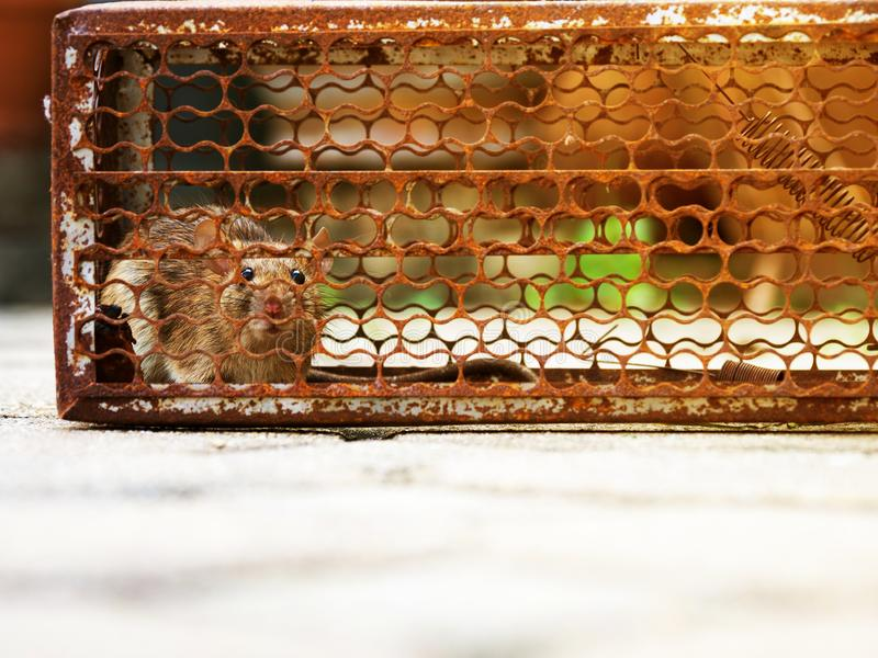 The rat was in a cage catching a rat the rat has contagion the disease to humans such as Leptospirosis, Plague. Homes and dwelling. S should not have mice. Pet stock photo