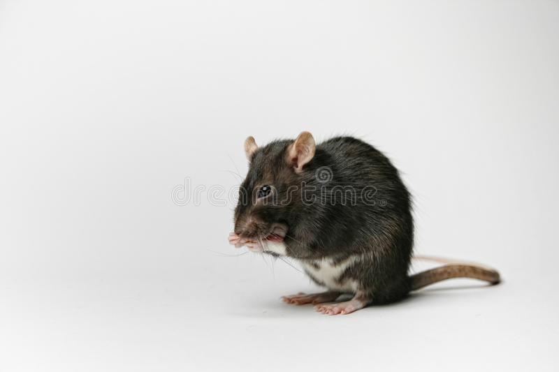 Rat is washing stock photos