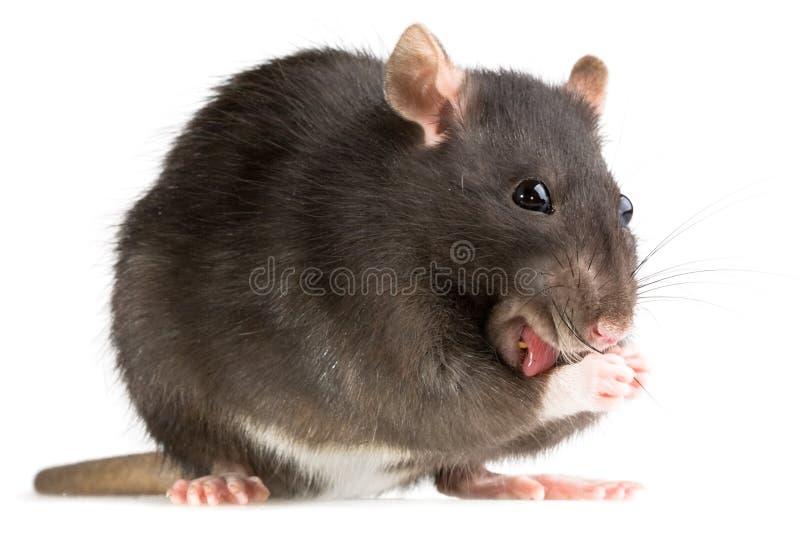 Rat washing royalty free stock photo