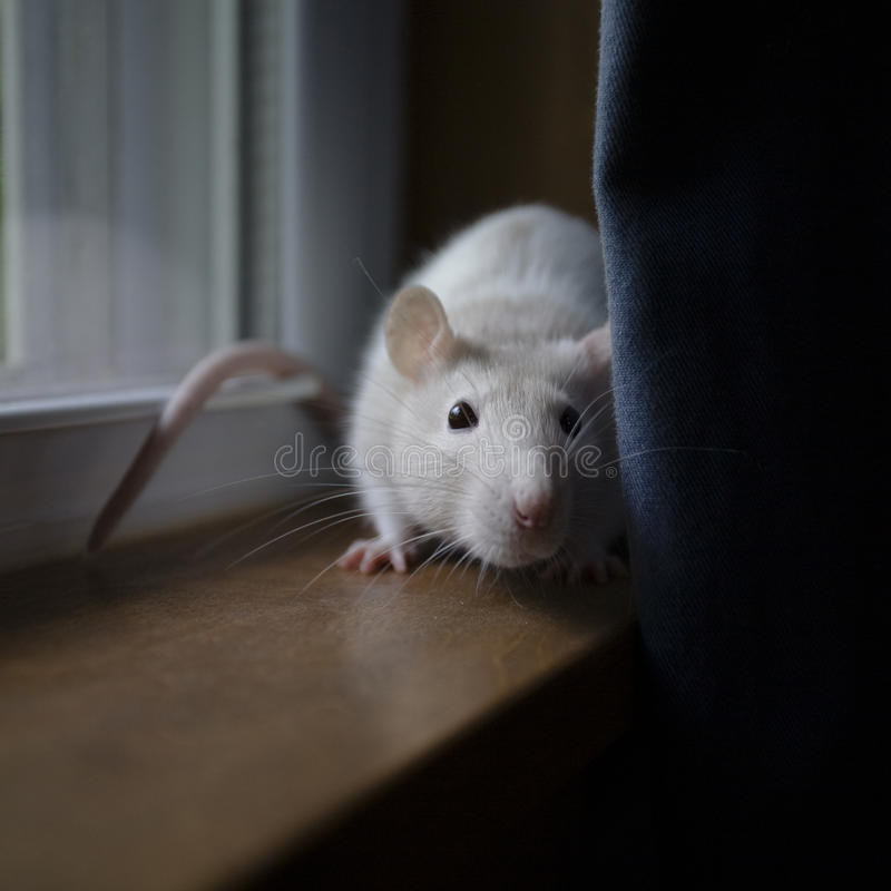 Rat on window sill stock images