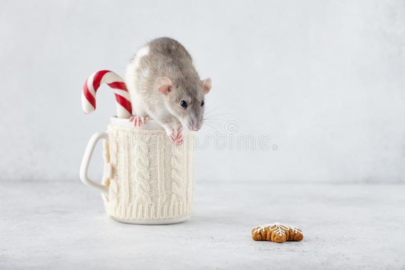 Rat at winter cup with candy cane. Looking at gingerbread cookie. New Year 2020 symbols royalty free stock photography